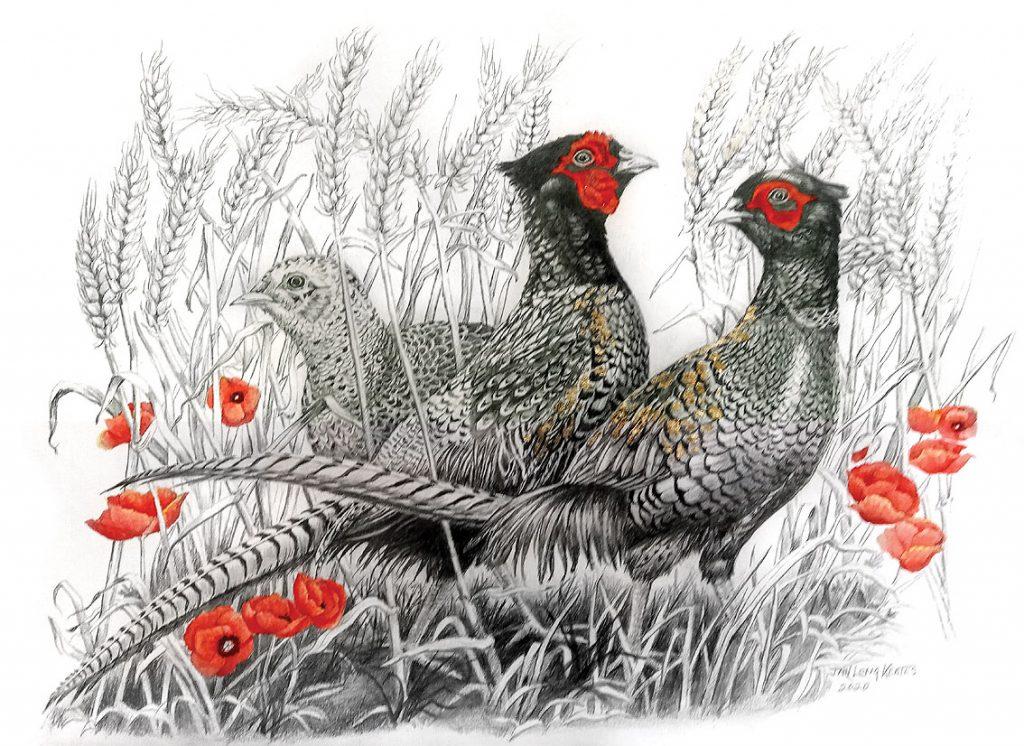 Janet Keates - Pheasants - Pencil